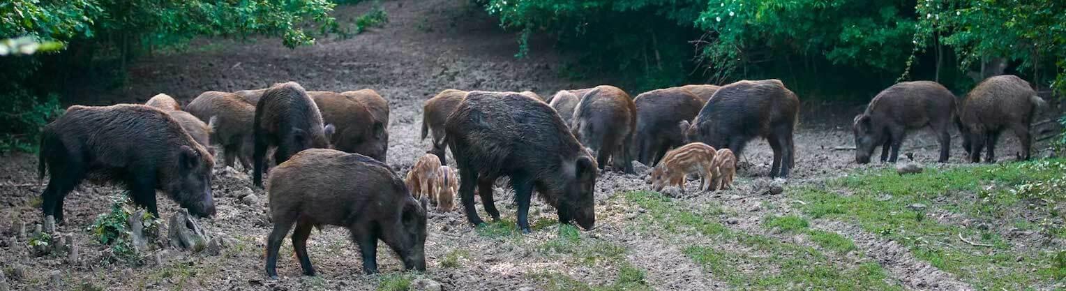 Wildschwein Fleisch online kaufen bei Don Carne.de » Nur allerbeste Qualität ✔ Sichere & schnelle Lieferung ✔ Kontrollierte und zertifizierte Herkunft ✔ Kostenloser Versand ab 99€ Bestellwert ✔