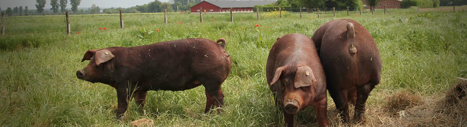 Duroc Schweinefleisch online kaufen bei Don Carne.de » Nur allerbeste Qualität ✔ Sichere & schnelle Lieferung ✔ Kontrollierte und zertifizierte Herkunft ✔ Kostenloser Versand ab 99€ Bestellwert ✔