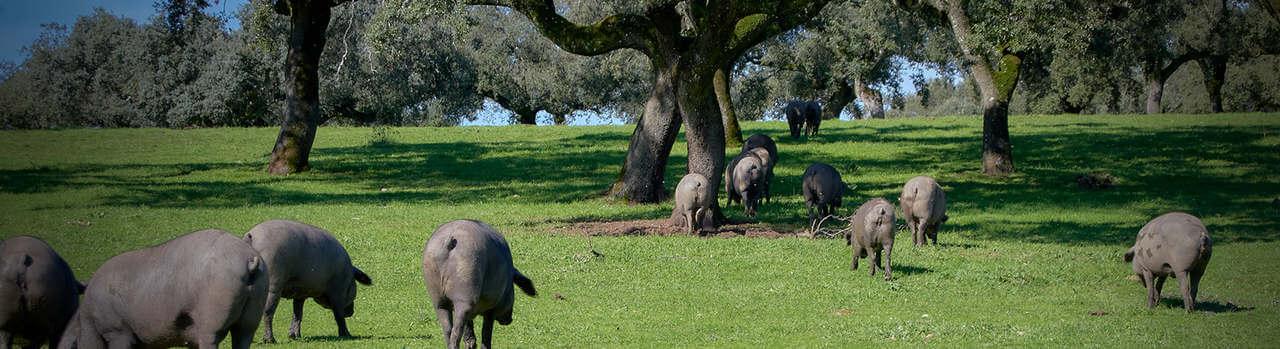 Fleisch vom Iberico Schweine online bestellen ✔Iberico Kotelett, Iberico Nacken & Iberico Steak ➨ Garantiert gekühlte Lieferung