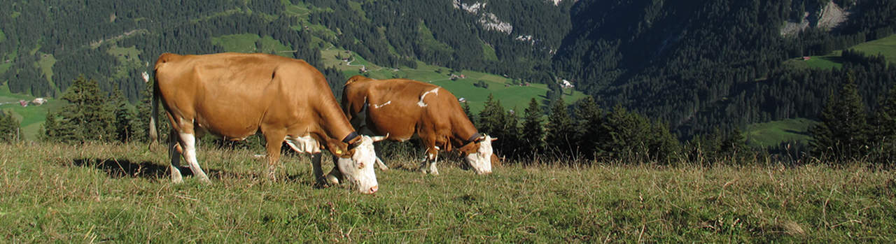 Simmentaler Rind online kaufen bei Don Carne.de » Nur allerbeste Qualität ✔ Sichere & schnelle Lieferung ✔ Kontrollierte und zertifizierte Herkunft ✔ Kostenloser Versand ab 99€ Bestellwert ✔