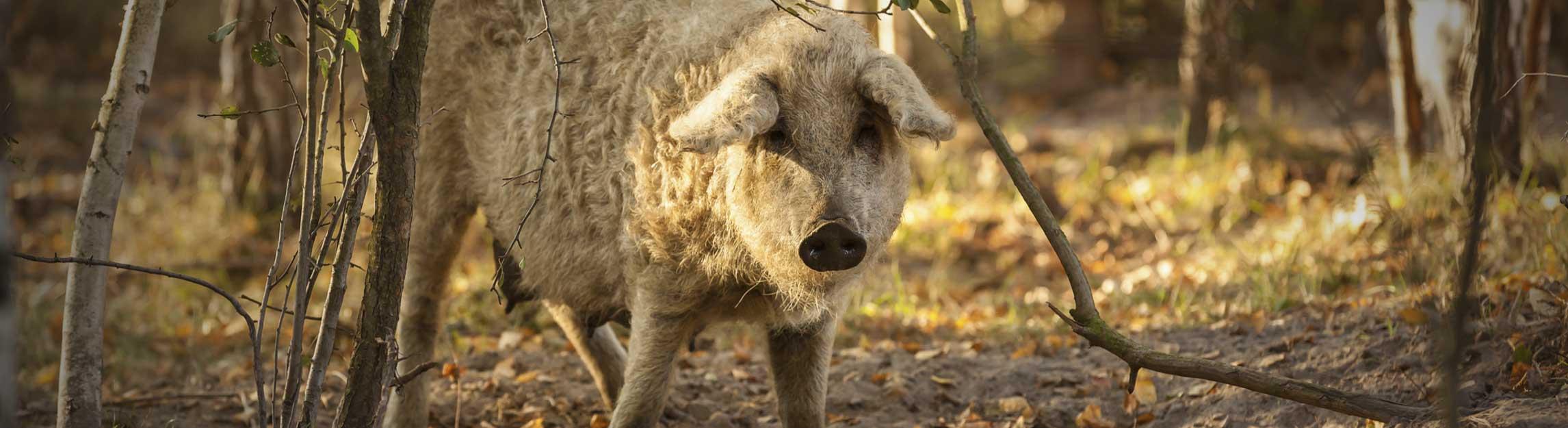 Mangalitza Schweinefleisch online kaufen bei Don Carne.de » Nur allerbeste Qualität ✔ Sichere & schnelle Lieferung ✔ Kontrollierte und zertifizierte Herkunft ✔ Kostenloser Versand ab 99€ Bestellwert ✔