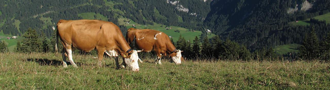 Fleisch vom Simmentaler Rind online bestellen ✔ Färsenfleisch aus Deutschland  ✔ Färse Steak, Filet, Gulasch, Rouladen ➨ Jetzt Simmentaler Färse kaufen